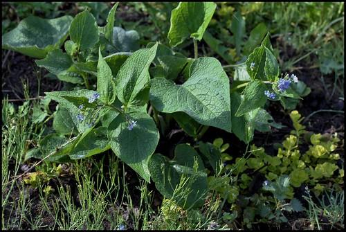 Brunnera macrophylla - buglosse de Sibérie 25551604890_8dfbc1e26e