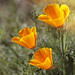 California Poppies by grandmasandy+chuck
