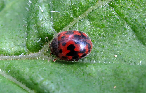 24-spot Ladybird Subcoccinella 24-punctata Tophill Low NR, East Yorkshire April 2016