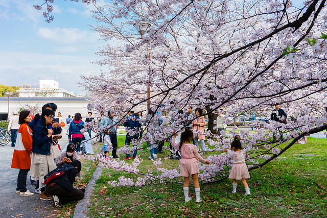 CherryBlossoms_110
