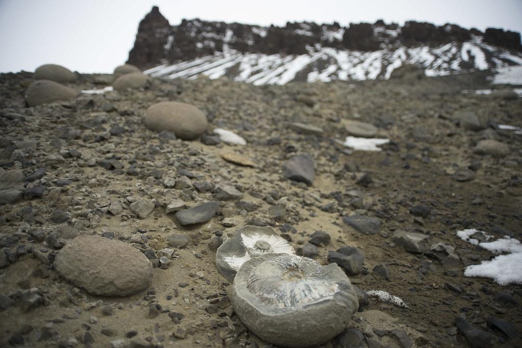 Vega Island ammonites