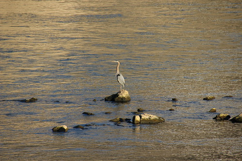 IMG_7105_Great_Blue_Heron_at_Douglas_Dam