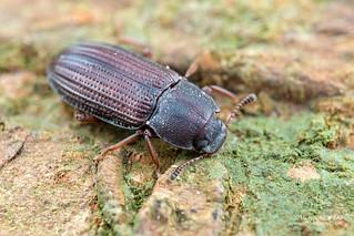 Darkling beetle (Tenebrionidae) - DSC_0963