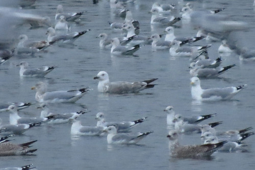 Caspian Gull Larus cachinnans Tophill Low NR, East Yorkshire January 2016