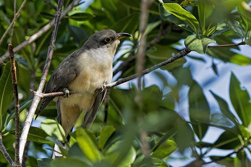 FL: Mangrove Cuckoo