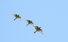 Bee-eaters_RomainRiols