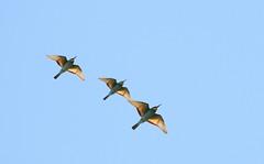 Bee-eaters_RomainRiols