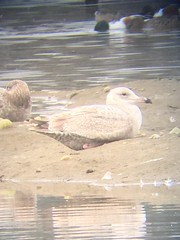 Herring x Glaucous Gull? - Los Angeles, CA