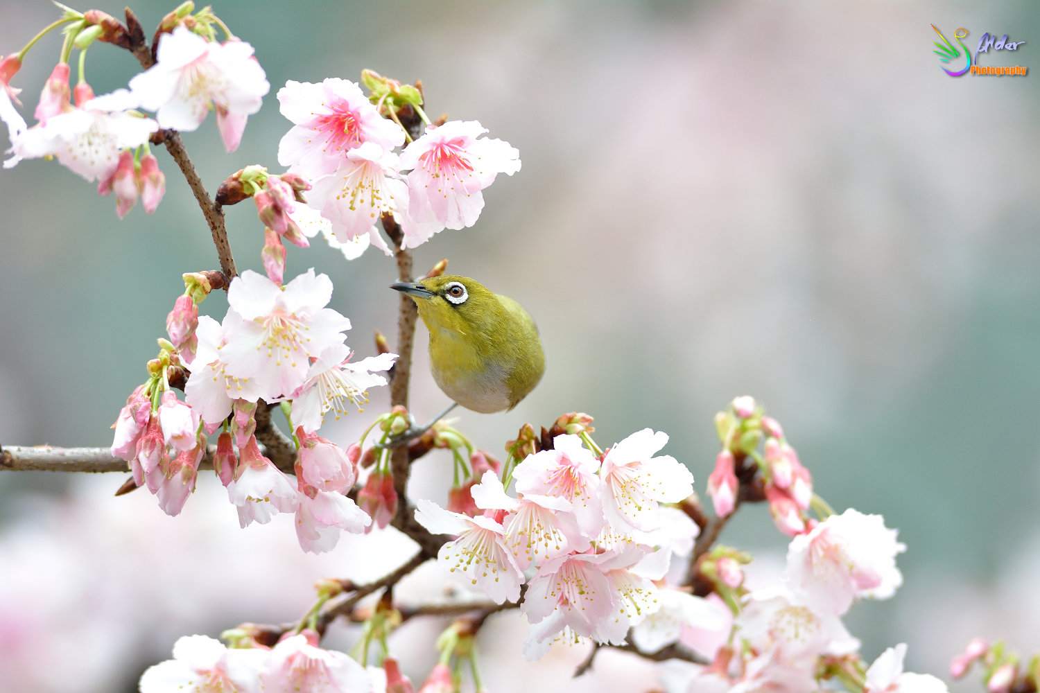 Sakura_White-eye_6893