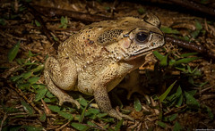 Asian toad incursion, Madagascar Dec  2014 photo James Reardon-7304