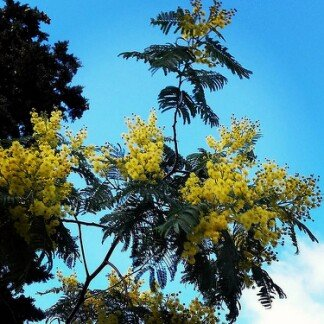 la photo du jour sur notre blog : Attention, elles débarquent en mase dans les Corbières :  les premières fleurs sont là. , mimosa, corbieres, photodujour