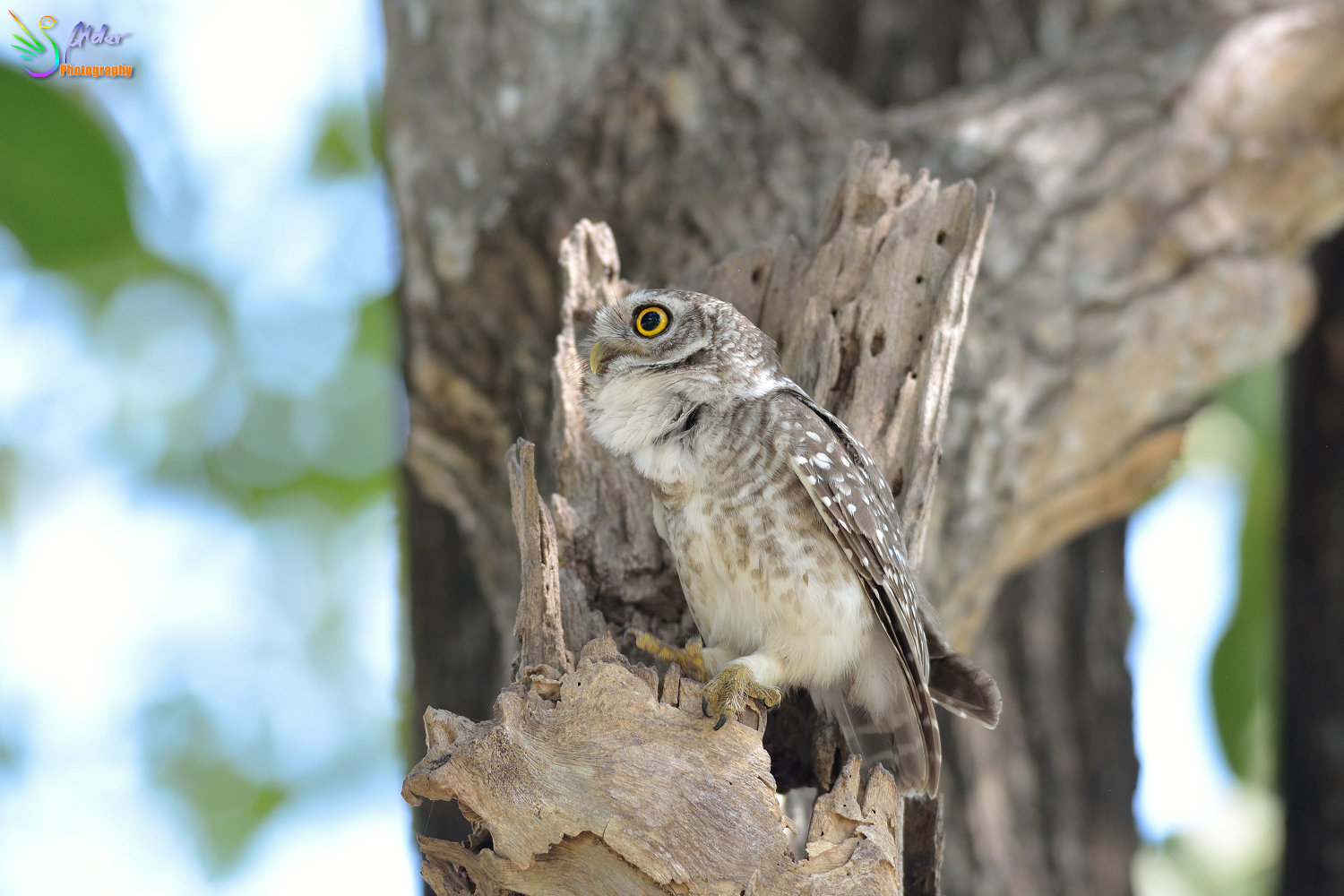 Spotted_Owlet_3169