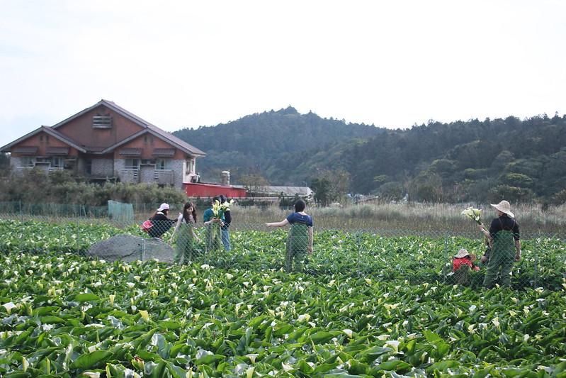 竹子湖採海芋-17度C隨拍 (31)