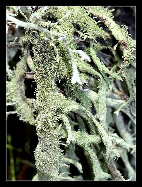 Pseudevernia furfuracea - évernie poudreuse  25470250741_af24285c99_z