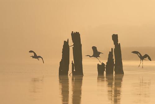 Herons at dawn