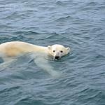 The Polar Bear, the Musk-ox and the Caribou - Nunavik's Big Three