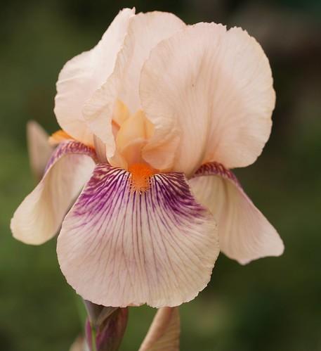 Iris 'Color Carnival' - DeForest 1949 25956089184_4d3904e660
