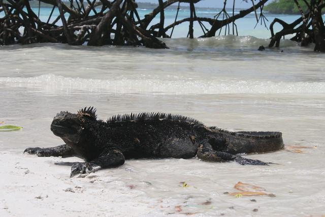 Galápagos-2016. Iguana marína