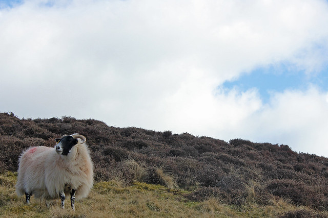 Sheep in the Pentlands