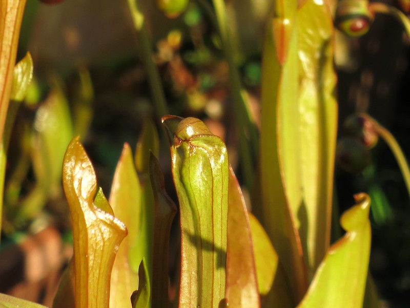 All about Thrips   The Sarracenia Forum