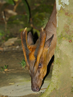 Barking Deer (Muntiacus muntjak) wandering in the garden ... (Photo by Xavier MALLERET)
