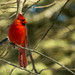Cardinal bathed in Sunshine by ChristineDarnell