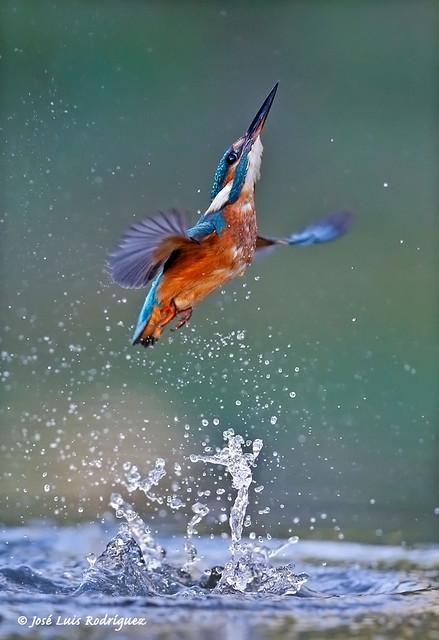 Common Kingfisher (Alcedo atthis) - José Luis Rodríguez Sánchez