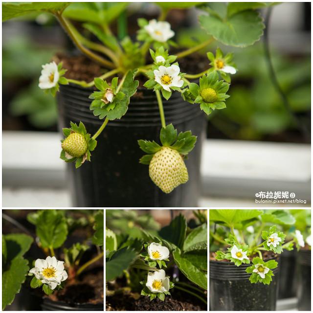 【採草莓推薦】新發現!秘境草莓園!埔里也能採草莓?@埔里玩莓草莓園