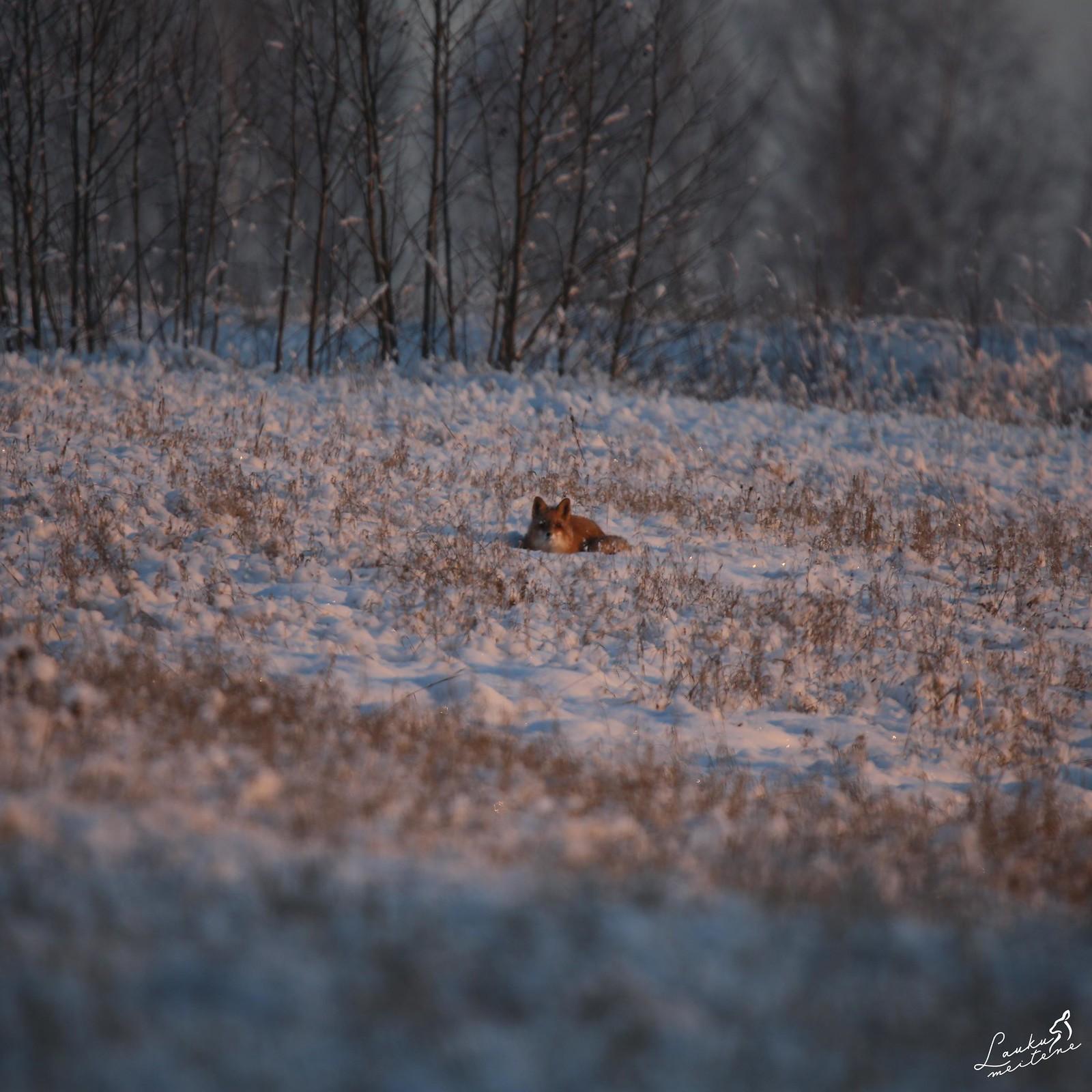 Lapsa ziemā