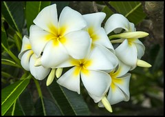 White-Yellow Frangipani-1=