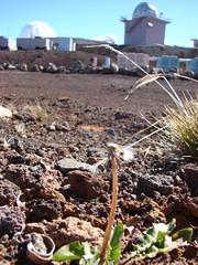 starr-090504-7171-Taraxacum_officinale-habit-Science_City-Maui