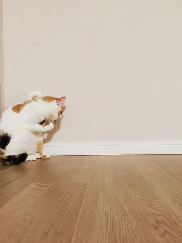 食後のお手入れ中😺 #cat #cats #catsofinstagram #catstagram #instacat #instagramcats #neko #nekostagram #猫 #ねこ #ネコ# #ネコ部 #猫部 #ぬこ #にゃんこ #ふわもこ部