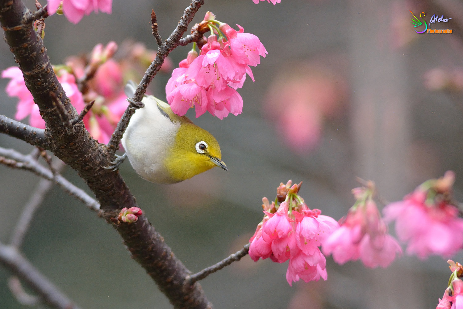 Sakura_White-eye_5919