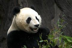 Panda By Ellen Jacobs