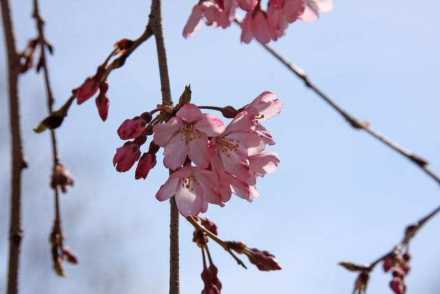 Cherry BlossomsIMG_2594_01