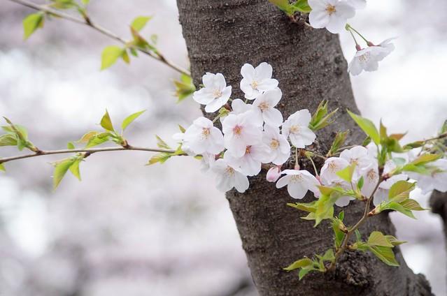 2016年4月2日お花見-7