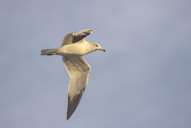 Gull 16_7D2_100316