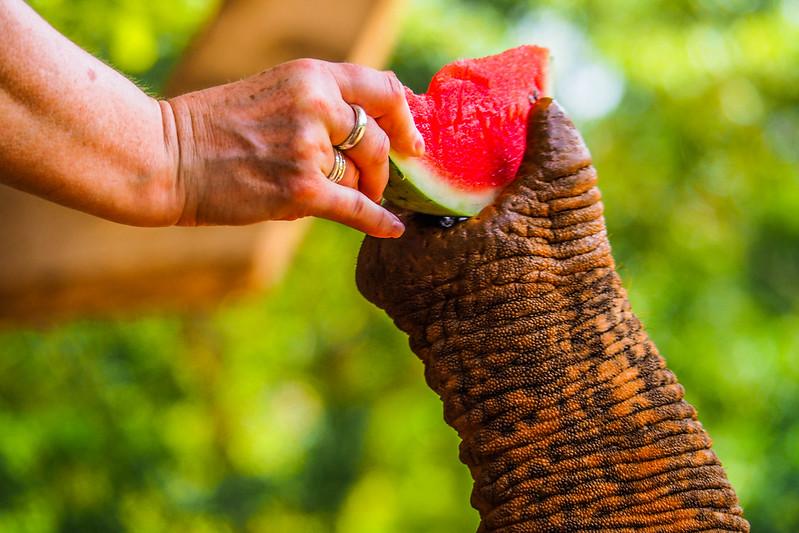 P4193413 Vagamundos 16 Sri Lanka Orfanato Elefantes Pinnawala
