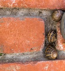 Three snails on a brick wall