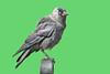 Gralha-de-nuca-cinzenta  - Western jackdaw - Corvus monedula