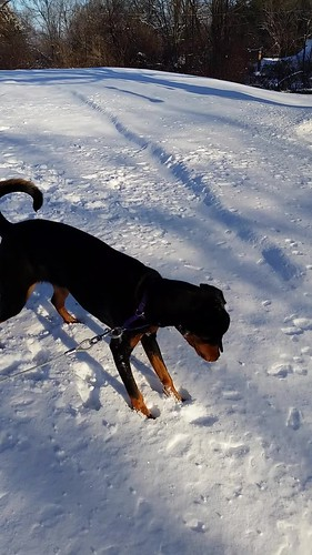 10 month old Doberman puppy gets scared by a gust of wind - New England - snow - Lapdog Creations