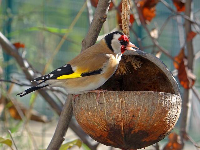 Goldfinch and coconut - Photographe à la noix !
