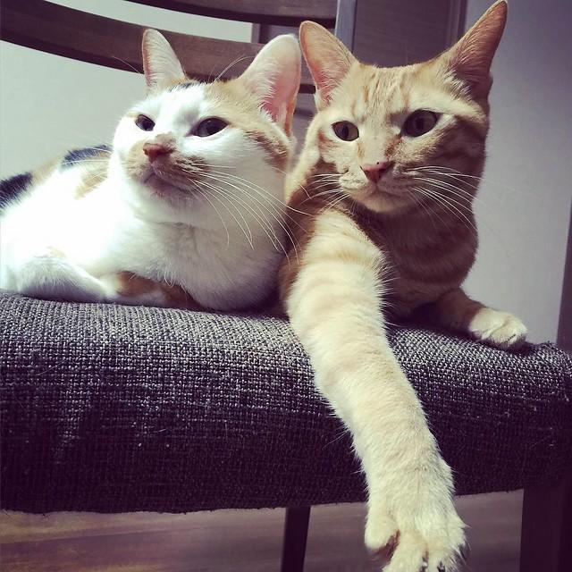 寄り添い😸😸😸 #cat #cats #catsofinstagram #catstagram #instacat #instagramcats #neko #nekostagram #猫 #ねこ #ネコ# #ネコ部 #猫部 #ぬこ #にゃんこ #ふわもこ部