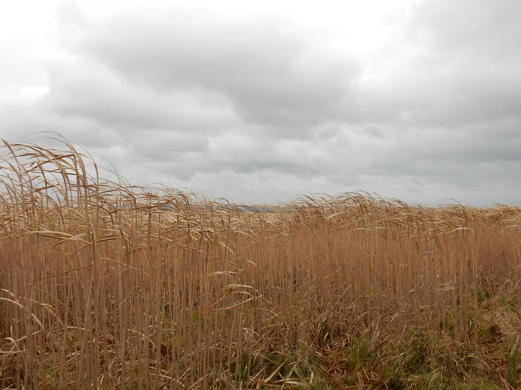 Miscanthus? Acres and acres of this energy crop (if that;s what it is.) Haddenham Circular (short)