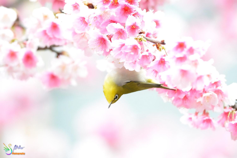 Sakura_White-eye_7636