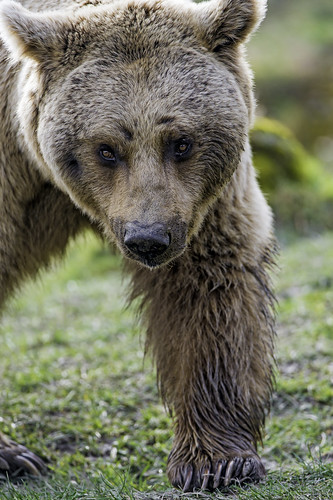 Syrian bear bery close