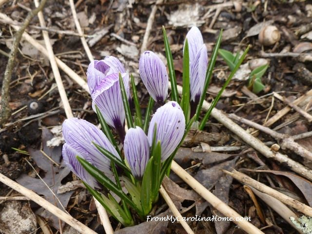 Crocus March 2016