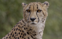 Smithsonian National Zoo Mar 9 2016  (494) Cheetah