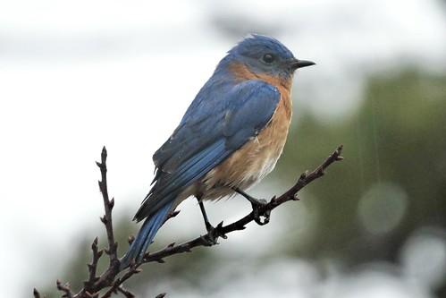 Eastern Bluebird #77