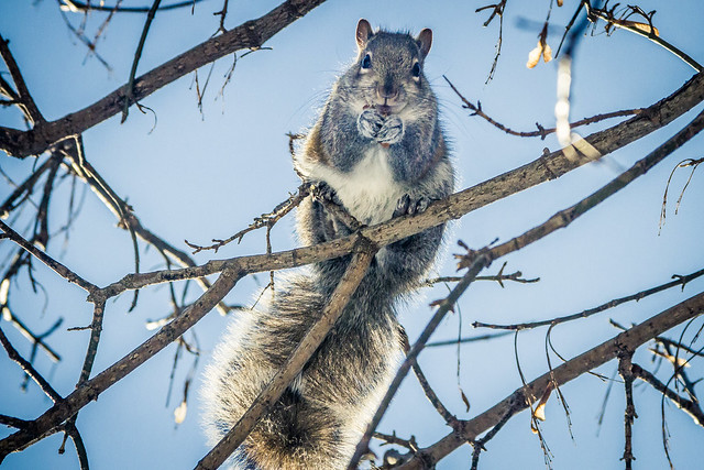 Squirrel throwing nuts at my face - Bloor Street West, Toronto, ON, Canada